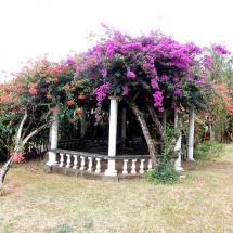 Jacaranda-Baum